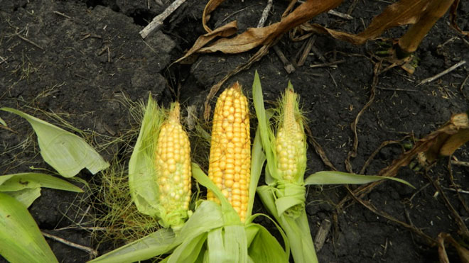 Drought Damaged Corn, Drought, Corn, Corn Drought